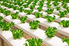 蔬菜无土栽培营养液管理常见问题分析