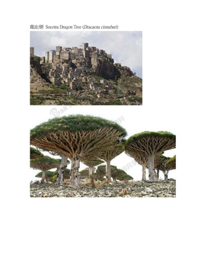 龍血樹 Socotra Dragon Tree.doc