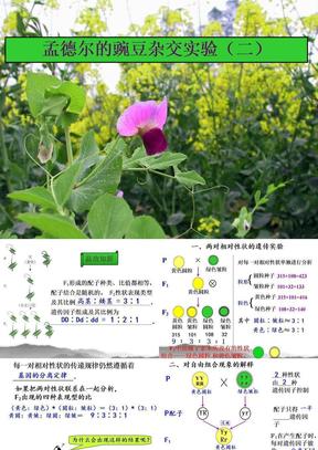 4468kj_孟德尔的豌豆杂交实验(二).ppt