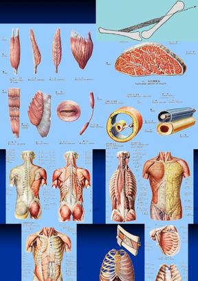 正常人体解剖学-肌学.ppt