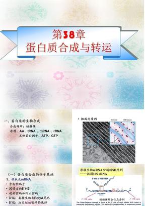 第33章 蛋白质合成及转运.ppt