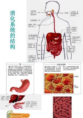 消 化 系 统课件 高中版