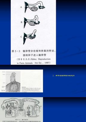 [家畜繁殖学课件]第五章 受精、妊娠与分娩2
